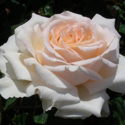 Rose Sweet Love